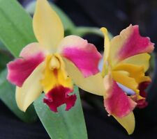Blmg Size! Pot. Roy'S Magic ~Carmela~ Cattleya Mericlone Orchid Plant