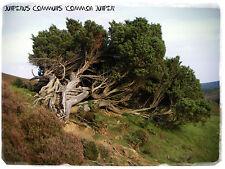 Juniperus communis » común Juniper » [ Prov. del Reino Unido ] 30 + Semillas!