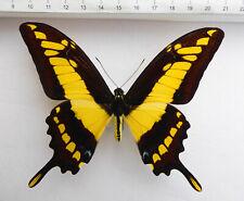 Papilio thoas ssp.cyniras Männchen ex Peru n357