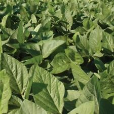 Soybean - Laredo Seed - 5 Lbs.