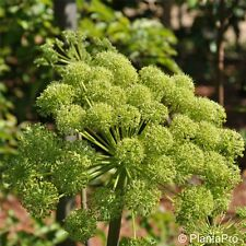 Echter Engelwurz (Angelica archangelica) winterhart   Angelika   Heilpflanze