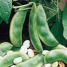 BEAN SEED, FORDHOOK LIMA BUSH,HEIRLOOM, ORGANIC 500+ SEEDS, NON GMO, BEANS