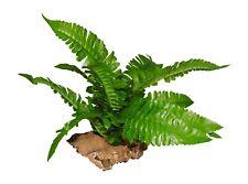 Vivarium Plant,Small Leafy Boston Fern Mounted On Cork bark
