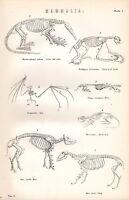 1880 Aufdruck~Mammalia~Skelette~Ameisenbär Schaf Bat Maulwurf Faultier Ratte