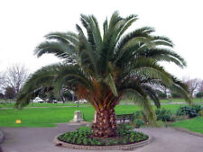 Phoenix Canariensis HARDY CANARY ISLANDS DATE PALM Seeds! Outdoor Plants Tree