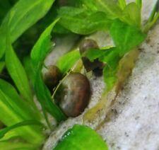 50 + Live Ramshorn snails, Freshwater Aquarium /feeder Snails /alge eater