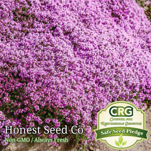500+ Purple Creeping Thyme Seeds, Groundcover Seeds   Herb Garden Seeds USA