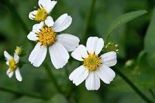 50 Graines d'Herbe à aiguilles, Bidens pilosa White flower seeds
