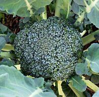 "Brokkoli ""Calabrese natalino"" Samen (100 - 50.000 Samen)"