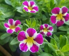 5 calibrachoa candy shop 'fancy berry' Cutting raised basket Plug Plants