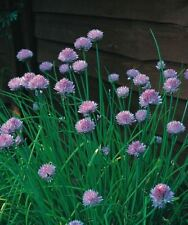 Herb - Chives - Medium Leaved - 400 Seeds - Economy