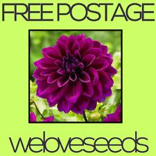 LOCAL AUSSIE STOCK - Rare Thomas Edison, Dahlia, Flower Seeds ~10x FREE SHIP