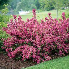 Pink Flowering Shrub Weigelia Butterfly Bush Hummingbirds Pollinator Get'em Now
