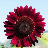 15 Samen Rot Sonnenblume Abendrot Abendsonnen  HELIANTHUS ANNUUS-Red Sun Sa W4T9
