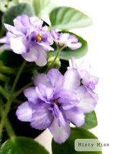African Violet Misty Miss - Starter Plant/Plug