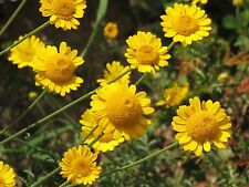 Yellow Chamomile - Anthemis Tinctoria - 2000 SEEDS - PERENNIAL FLOWER