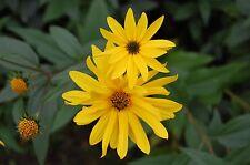 30 Samen Hohe Stauden-Sonnenblume Helianthus maximiliani mehrjährig winterhart