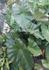Black Taro - Aracea Spp - One of the Most Stunning & Delicious Taro Variety!!!