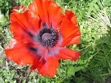 50+ PRINCE OF ORANGE POPPY  FLOWER SEED / PERENNIAL / PAPAVER ORIENTALE