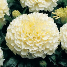 100 WHITE MARIGOLD SEEDS UK SELLER AND GROWER