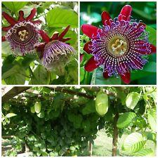 10 seeds of Passiflora quadrangularis,maracuja , passion fruit , C