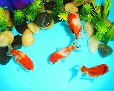 BUYGOLDFISHONLINE.COM Live Sakura Ranchu Goldfish (S) for aquariums and ponds
