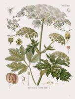 Botanical Herb Medicinal Black Henbane 185 Vintage Art Print//Poster