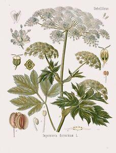 Botanical Herb Medicinal Masterwort - 110 Vintage Art Print/Poster