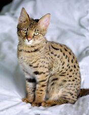 METAL MAGNET Savannah Cat Brown Tan Spotted Cats MAGNET