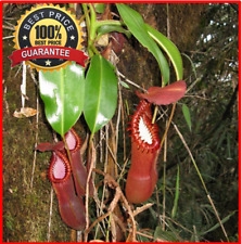200+Nepenthes seeds Edwardsiana ~ Splendid Pitcher Plant~ Extremely Rare Limited