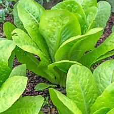 Vegetable Lettuce Paris Island Cos Appx 1200 seeds Cos type
