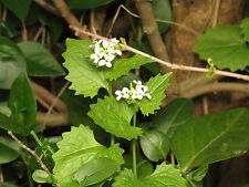 Knoblauchsrauke - Lauckraut 60 Samen - Salat , Gewürz und  Heilpflanze