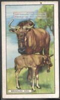 Brindled Gnu Blue Wildebeest c80 Y/O Trade Ad Card