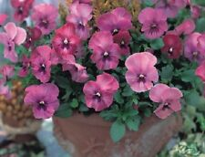 Pansy Nature Rose Pink 25 Pansy Seeds