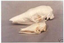 GIANT ARMADILLO SKULL REPLICA