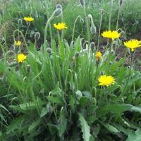 Wildflower Seeds - Autumn Hawkbit - 1000 Seeds