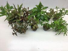 Aquarienpflanzenset  Wasserpflanzen 2,70€/Stk 5 Töpfe. ideal für den Anfänger