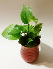 Golden Pothos Devil's Ivy  Epipremnum aureum. 1 starter plant 3 rooted cuttings