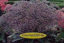 Strandflieder, Statice,Limonium Latifolium winterhart