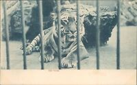 Postcard Tiger At The zoo Raphael Tuck & Co Z00 Series Early Undivided Back