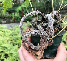 "04"" Davallia denticulata (Rabbit's Foot Fern) - Beautiful!"