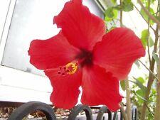 Brilliant Tropical Hibiscus rosa-sinensis Hibiscus red plant Free Ship