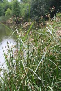 Sweet Galingale Pond Live Reed Water Plant Aquatic Bog Marginal
