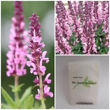 Salvia nemorosa - Wood Sage' - X 30 Fresh 2016 SEEDS - Bee Friendly Perennial