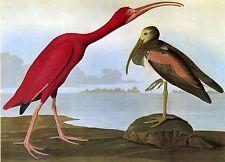 Audubon Reproductions: Birds of America - Scarlet Ibis - Fine Art Print