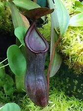 CARNIVOROUS Nepenthes Sanguinea LIVE Pitcher PLANT - Combine Shipping!!
