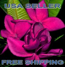 "10 New Rare ""Highness Queen"" Plumeria/Frangipani Seeds Usa Seller/Free Shipping"