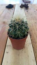 ECHINOCACTUS GRUSONII Cactus vivo  5,5 pot Kakteen Live Cactus