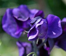 Lathyrus odoratus Lord Nelson 8 seeds