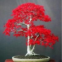 Bonsai Seeds Red Maple Tree America Seeds Plants Indoor Home Garden Decorations